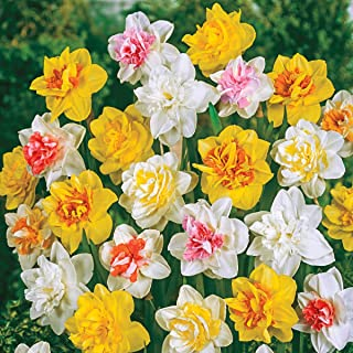 Double Daffodil Spring Flowering Bulb Mixture - These Big, Bright Double Daffodils Will Thrive Wherever You Plant Them! 15 Bulbs Measuring 12 to 14 cm per Order