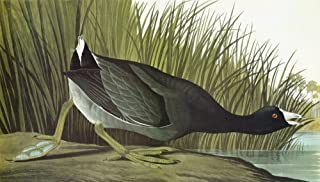 Audubon Coot Namerican Coot Or Mudhen (Fulica Americana) Engraving After John James Audubon For His Birds Of America 1827-...