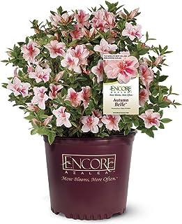 Encore Azalea Autumn Bell Azalea 2 Gal, Pinkish White Blooms