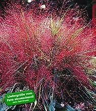Eragrostis spectabilis großer Topf Purpur Liebesgras