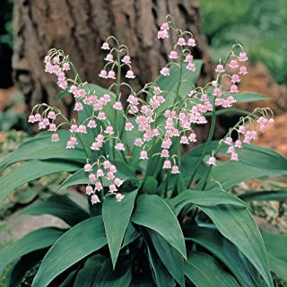 Rare Pink Lily of the Valley 5 Pips (Roots) - Great in Shade!