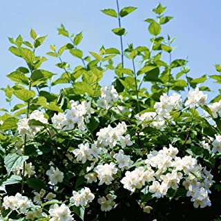 200+ Jasmine Seeds for Planting - 5 Different Color of Jasmine - Non-GMO