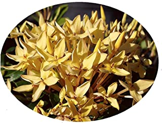 Yellow Dwarf IXORA Miniature Taiwanensis Tropical Low Growing Flowering Shrub Live Plant Starter Size 4 Inch Pot Emerald tm