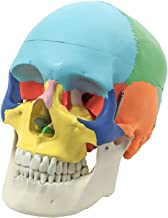 Wellden Product Anatomical Skull Model, Didactic Color Painted, 3-Part, Life Size