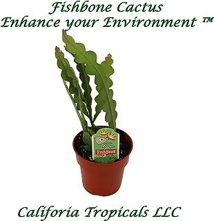 ric rac plant