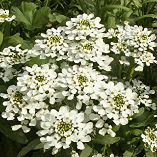 Flower Seeds - 500 Seeds of Empress Rocket Candytuft Wildflower Seeds