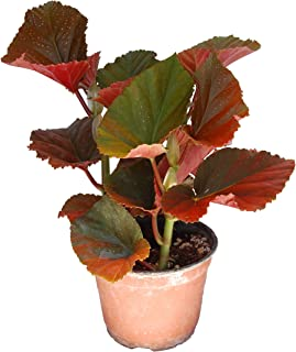 Angel Wing Begonia Dragon 6 Inch Pot Fully Grown Plant