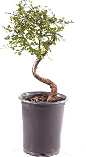 Brussel's Bonsai Live Chinese Elm Outdoor Bonsai Tree 5 Years Old; 6
