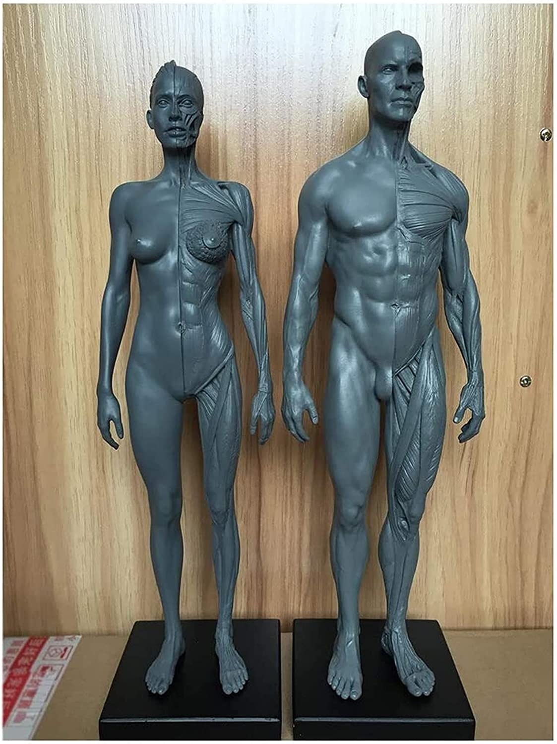 Human Los Angeles Mall Anatomy Figure Muscle Ranking TOP13 Anatomical Male Model Skeleton