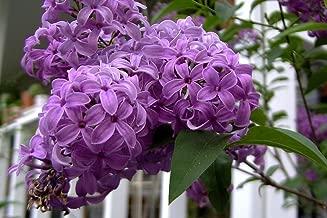 25 FRENCH / OLD FASHIONED LILAC Syringa Vulgaris Flower Shrub Bush Seeds by Seedville
