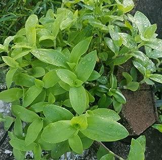 Rare Setcreasea Tradescantia Brevifolia - Green Queen - Flowering Wandering Jew
