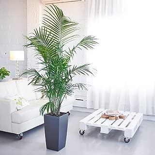 Best ravenea potted plant majesty palm Reviews