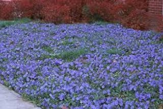 Details About Evergreen 20 Creeping Myrtle Vinca Minor Flowering Plants Ground Cover, Shade