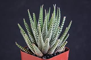 Jmbamboo -2'' Haworthia Attenuata, Zebra Zebrina Exotic Rare Succulent Cactus Plant Cacti Unique From Jmbamboo