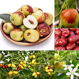 20pcs Seeds Chinese jujube- Tropical Plant Tree Seeds shopmeeko hot Sale jujube Plants Honey Sweet Fruit Seeds Tree Seeds semillas for Home Garden DIY Plant