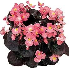 Begonia - Senator Pink - 50 Seeds