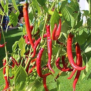 Samen für ca. 25 Pflanzen Cayenne Chili - bekannte und beliebte Sorte