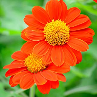 HOT - The Mexican Sunflower Mixed Colors - 180 Seeds - Tithonia speciosa - Flower