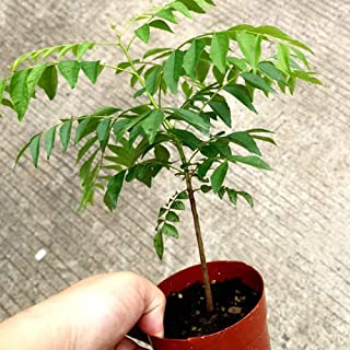 Flower Seeds, Plant Seeds, YESZ 100Pcs Curry Leaf Tree Seeds Petted Culinary Herb Plant Outdoor Garden Decor - Curry Seeds