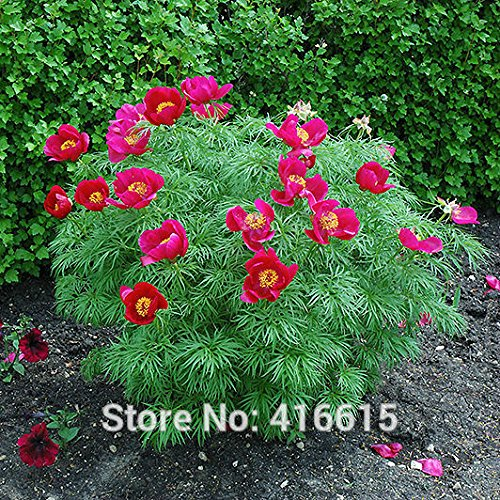 Meistverkauft! Paeonia Tenuifolia Seeds Fernleaf Peony Samen Pfingstrose-Blumensamen Doppelblüte Fernleaf Peony Rubra Plena Garten Pflanzensamen - Arcis New