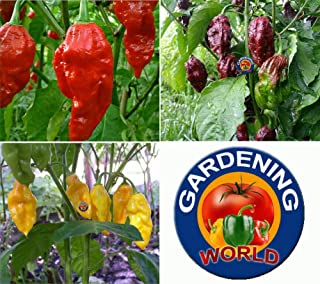 75 Chocolate, Yellow & Red Ghost Chili Pepper Seeds Bhut Jolokia Organic HOT - Comb S/H - TheGardeningWorld