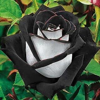 Kisshes Seeds- 40/100Pcs Rose semillas,Semillas de rosas del desierto de Blooms Hogar y Jardín (negro)