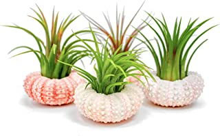 Air Plant Sea Urchin Kit (4 Pack, Pink) - Natural Shell Containers / Holders for Live Tillandsia Terrarium Kit | Indoor Home Decor by Plants for Pets