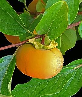 (2 Gallon) Matsumoto FUYU Japanese Persimmon (Matsumoto WASE) Large, Round, Sweet, Reddish Orange Color. No puckering, Non Astringent. High in Fiber and Vitamins, Eaten Fresh or as preserves.