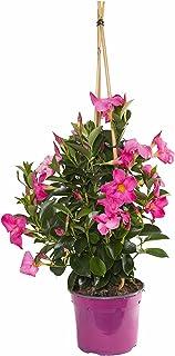 Dipladenia o Mandevilla - Diámetro: 19 CM Ø -Planta Natural - Planta Viva - VIPAR GARDEN 38 (Rosa)
