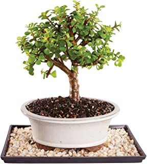 Brussel's Live Dwarf Jade Indoor Bonsai Tree - 5 Years Old; 8