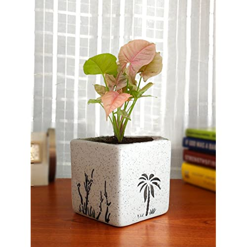 Rolling Nature Good Luck Pink Syngonium Plant in White Square Aroez Ceramic Pot