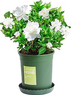 Cape Jasmine Gardenia Seeds About 50+ White Flowers Organic Easy to Grow White Flowers (Gardenia jasminoides Ellis) for Planting Garden Indoor Outdoor