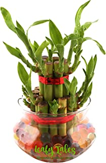 Leafy Tales Lucky Bamboo Plant in Glass Bowl with Jelly Balls