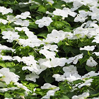 Outsidepride White Vinca Periwinkle Ground Cover Plant Seed - 4000 Seeds
