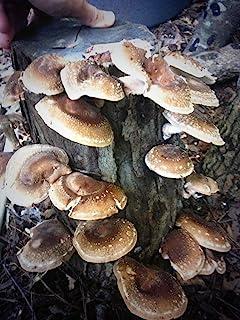 "Shiitake Mushroom Fatboy Log 25"" Enjoy Edible Amazing Mushrooms Grow Your Own"