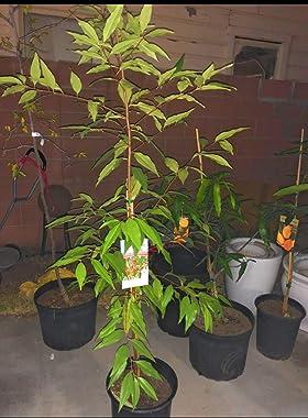 Capulin Fruit Tree Mexican Cherry Cereza Mexicana (Prunus salicifolia) 5 Gallon
