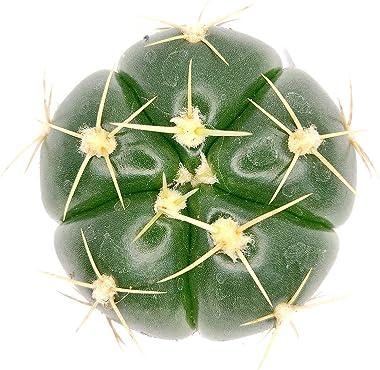 Gymnocalycium horstii SSP. Buenekeri   Spider Cactus   Succulent Gift Decor Ideas (3 inch)