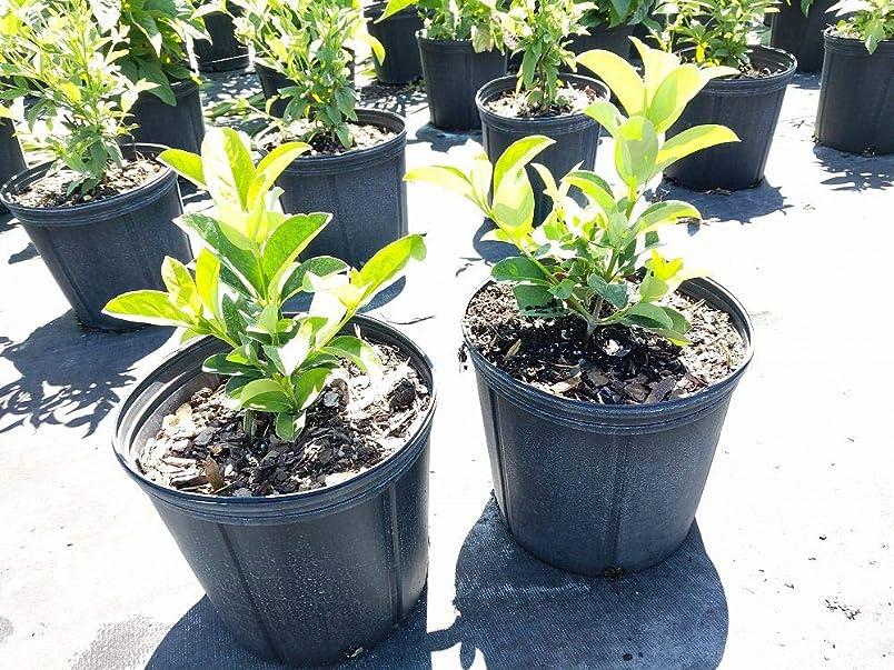 PlantVine Viburnum odoratissimum awabuki, Sweet Viburnum - Large - 8-10 Inch Pot (3 Gallon), Live Plant - 4 Pack cs592559763