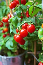 50+ Heirloom Vegetable Seeds - Tomato -