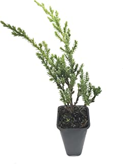 Green Sargent Juniper - 10 Live Plants - Juniperus Chinensis - Drought Tolerant Cold Hardy Evergreen Ground Cover