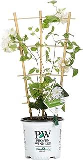 Madame Maria (Clematis) Live Shrub, White Flowers,1 Gallon