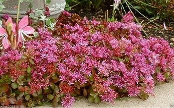 50 seeds - Sedum Seeds - Purple Carpet- (Spurium Coccineum) ,SUCCULENT GROUND-COVER !