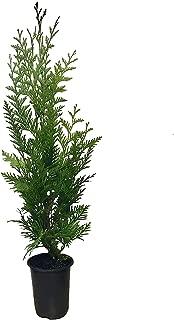 Thuja 'Green Giant' Arborvitae - 2 Feet Tall - Live Evergreen Privacy Tree