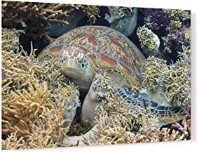 Green Turtle Resting in Coral Reef Acrylic Wall Art Photo Print Carl Chapman 1012 (60x40cm (23.6×15.7in))