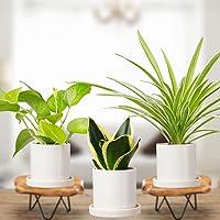 Plantmojo, Combo of Golden Money, Snake & Spider Plant, in White Ceramic Pot with Saucer
