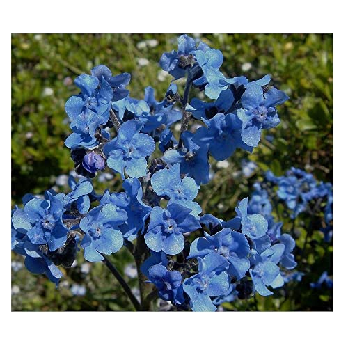 david's garden seeds flower cynoglossum chinese forget me not os1931 (blue)  200 non-