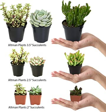 """Altman Plants Assorted Live Desert Fire Succulents Collection Bright color changing fun oranges and reds, 2.5"""", 4 Pack"""