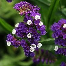 Statice Flower Garden Seeds - QIS Series - Dark Blue - 1000 Seeds - Annual Flower Gardening Seed - Limonium sinuata