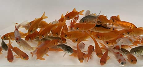 Toledo Goldfish Live Comet Goldfish Small (.75 to 1.5 inch) for Aquariums, Tanks, or Garden Ponds – Live Common Feeder Goldfish - Born and Raised in The USA - Live Arrival Guarantee
