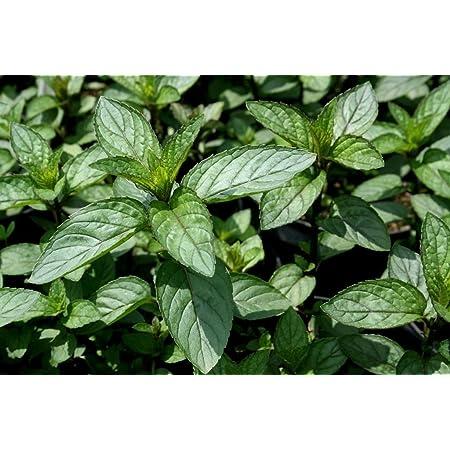 3 Atlas Mountain Mint Plug Plants *Perennial herb Plant*